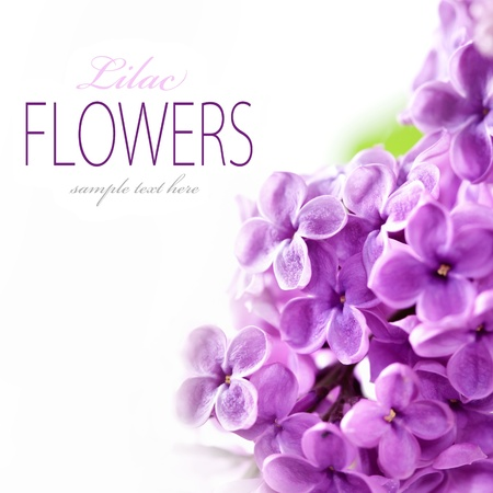 purple lilac: Lilac branch on a white background with sample text Stock Photo