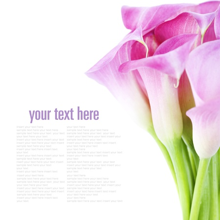 lilies: Beautiful pink calla lilies on white background Stock Photo