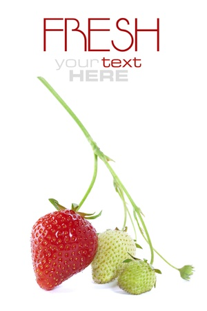 Ripe and unripe strawberries on branch photo