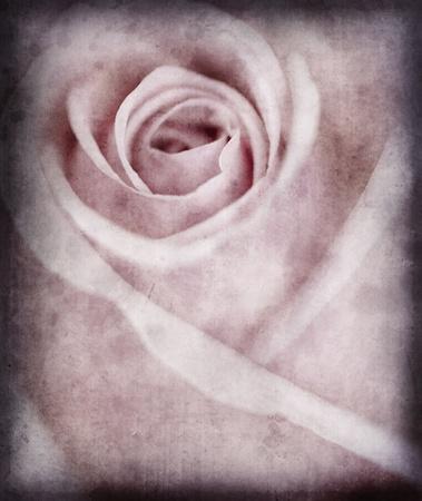 Close-up view of beatiful pink rose photo