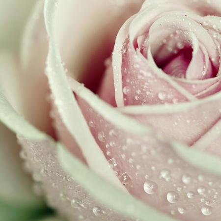 Close-up view of beatiful pink rose with water drops. Square shot.