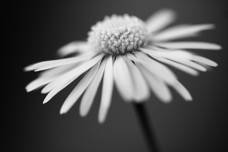 close up of white daisy on artistic background with soft focus