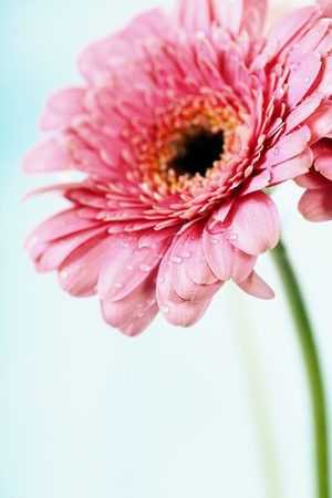 Close up abstract of colorful pink daisy gerbera flower photo