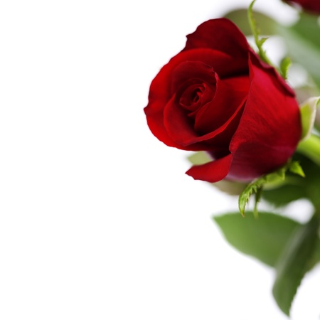 beautiful red rose over white photo
