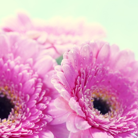 pink daisy: Close up abstract of colorful pink daisy gerbera flowers