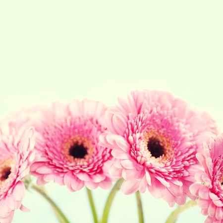Close up abstract of colorful pink daisy gerbera flowers photo