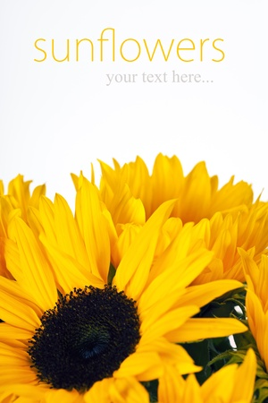 Sunflower Frame on white background (with easy removable text) Stock Photo - 13612628