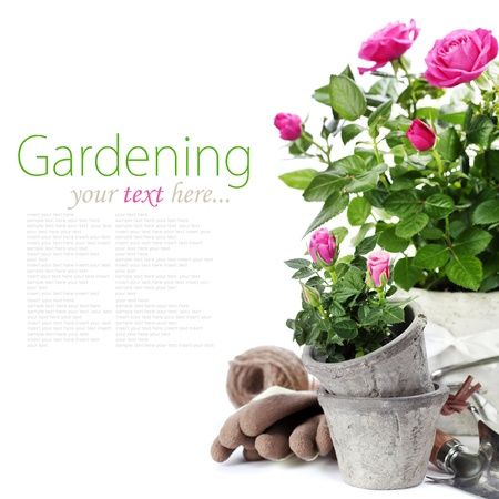 removable: Beautiful pink roses in a flowerpots and garden tools  isolated on white (with easy removable text) Stock Photo