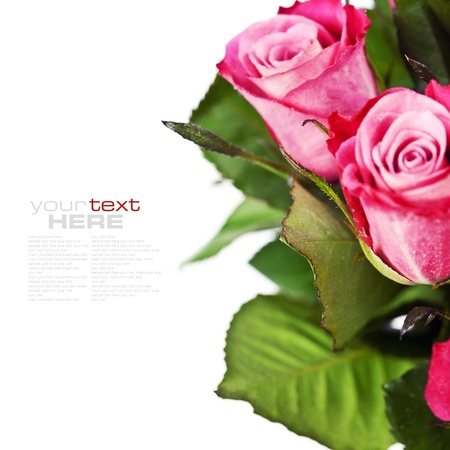 pink roses with water droplets on white background (with easy removable text) photo