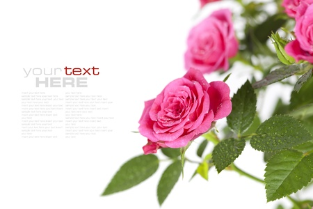valentine s day: pink roses on white background