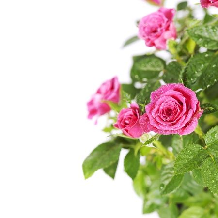 pink roses on white background Stock Photo - 15054010