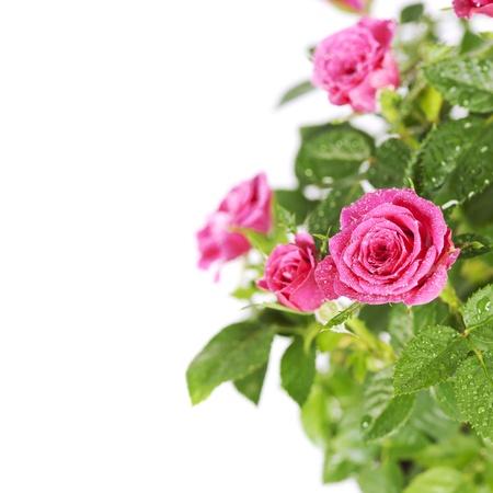 složení: růžové růže na bílém pozadí
