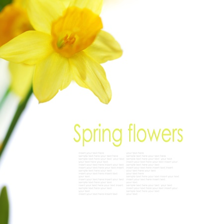Beautiful daffodils on white background  (with easy removable text) Stock Photo - 15054024