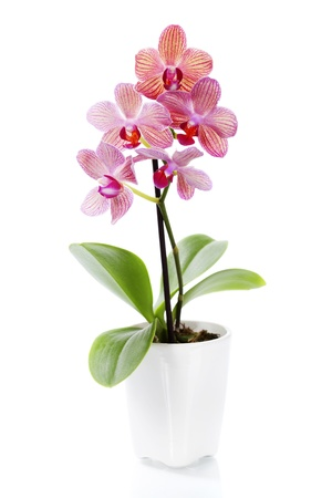 purple orchid: Pink orchid in a white flowerpot on white background Stock Photo