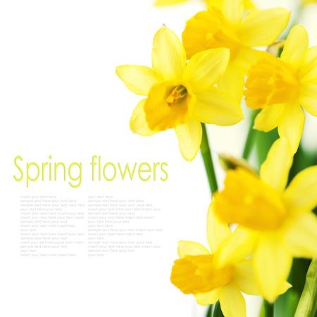 Mooie gele narcissen op witte achtergrond (met eenvoudig verwijderbare tekst) Stockfoto