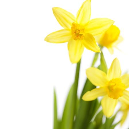 Beautiful daffodils on white background Stock Photo - 16827066