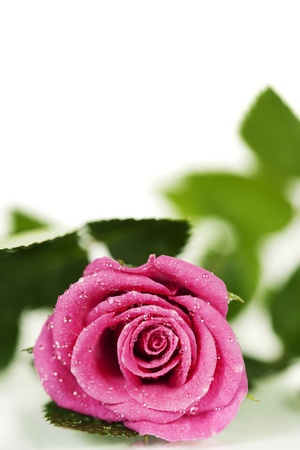 single rose: Pink rose isolated on white