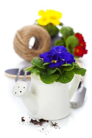 primulas: Fresh primulas and garden tools over white Stock Photo