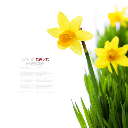 narcissen in groene gras over wit (met gemakkelijk verwijderbare voorbeeld tekst) Stockfoto
