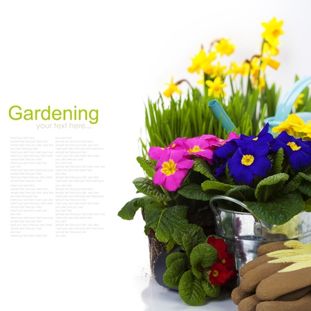 primulas: Spring flowers and garden tools  isolated on white (with easy removable sample text) Stock Photo