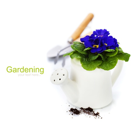 primulas: Fresh primulas and garden tools over white (with easy removable sample text)