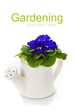 primulas: Fresh primula in watering can - gardening concept (with easy removable sample text)