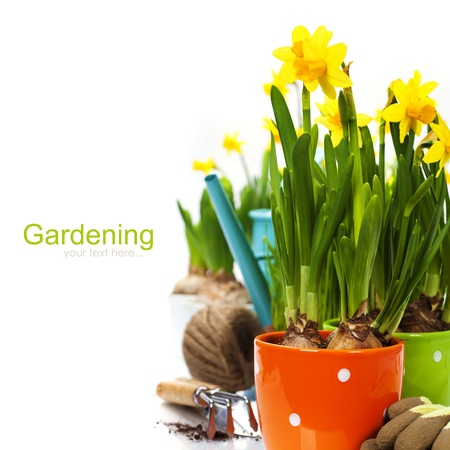 poster bed: fresh daffodils and garden tools over white (with easy removable sample text) Stock Photo