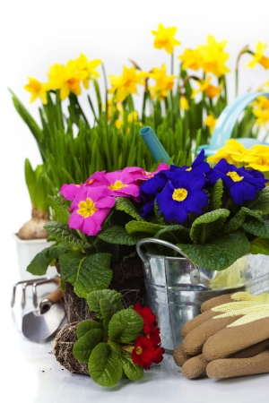 primula: Spring flowers and garden tools  isolated on white
