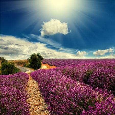 ラベンダー畑の美しい画像