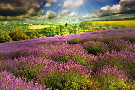 lavander: Beautiful image of lavender field  Stock Photo