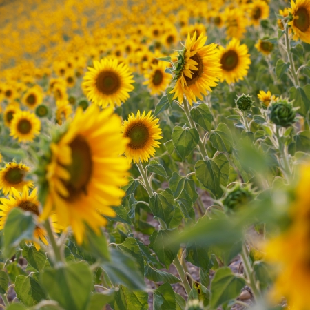 Blooming field of a sunflowers  photo