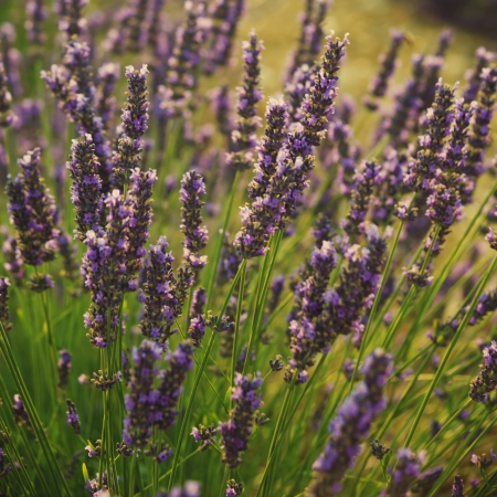 natural  moody: Beautiful image of lavender field  Stock Photo
