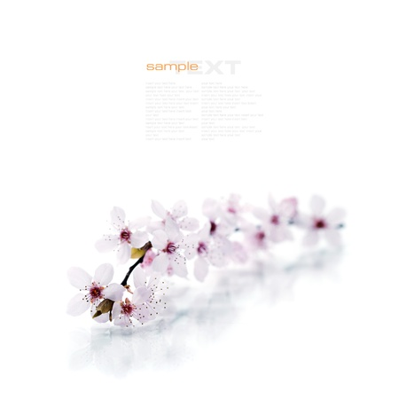 Pink cherry blossom sakura on white (with easy removable sample text) photo