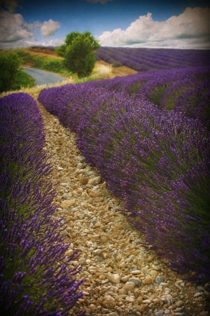 plateau of flowers: Beautiful image of lavender field  Stock Photo