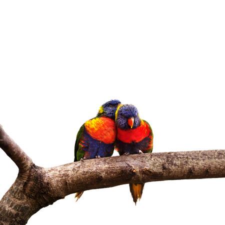 australasian: Pair of Rainbow Lorikeets Stock Photo