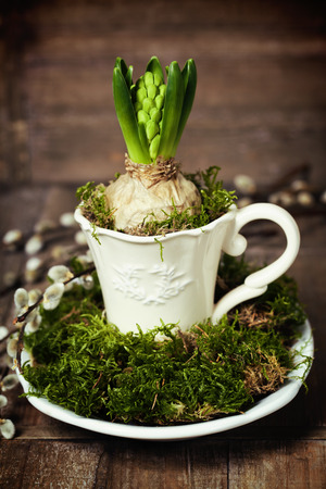 growing spring flower in a cup (spring and easter concept) photo