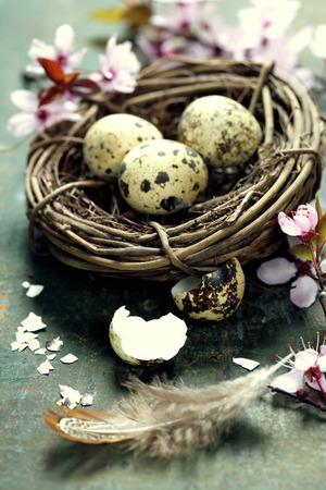 huevos de codorniz: Huevos de Pascua en un nido de codorniz y de la primavera flores de cerezo en mesa de madera