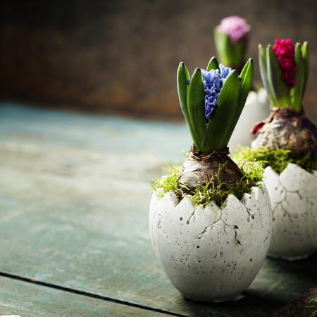 Roze, rood en blauw hyacint bloemen geplant in een easter pot vaas op blauwe houten achtergrond