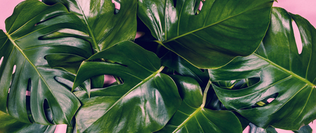Tropical leaves Monstera on colorful background