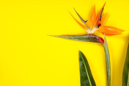 Bird of Paradise flower Strelitzia reginae on yellow background, flat lay