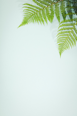 Fern leaves on blue background, flat lay, top view