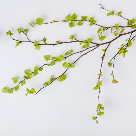 Birch tree branch with fresh leaves in spring on white backgrount, flat lay, top view
