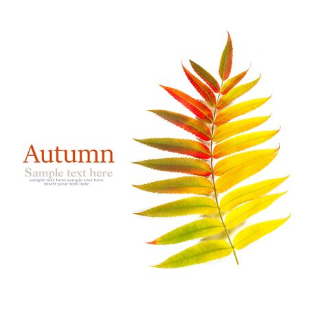 Autumn leaves on white background. Autumn background, Colors of Fall