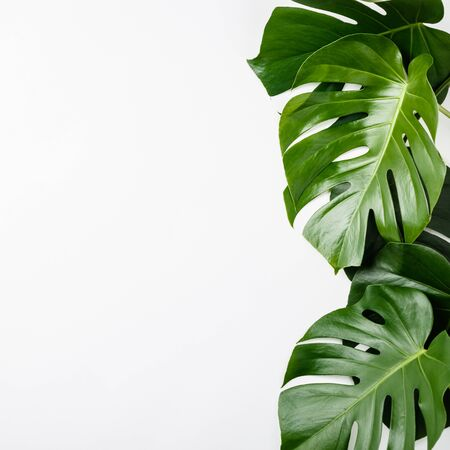 Tropical leaves Monstera on white background. Flat lay, top view, space for text