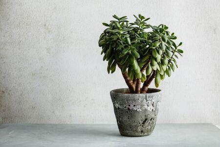 Houseplant Crassula ovata jade plant money tree opposite the white wall.