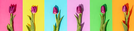 Creative layout made of spring tulip flowers on colored paper background Reklamní fotografie