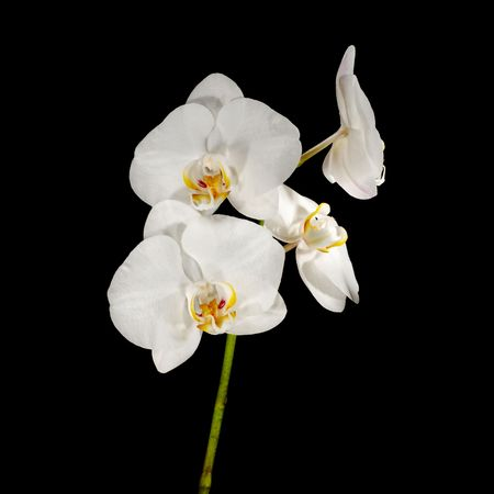 Picture of phalaenopsis flower isolated on black photo