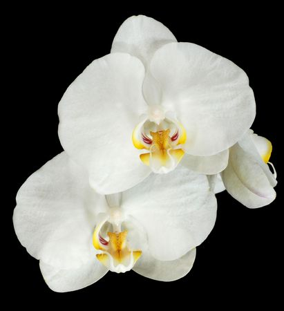 Picture of phalaenopsis flower isolated on black