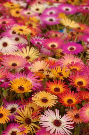 pile of osteospermum flowers