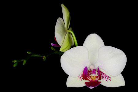 White phalaenopsis on black Stock Photo
